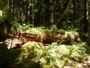 Nurse Log - Mt. Hood Wilderness Area
